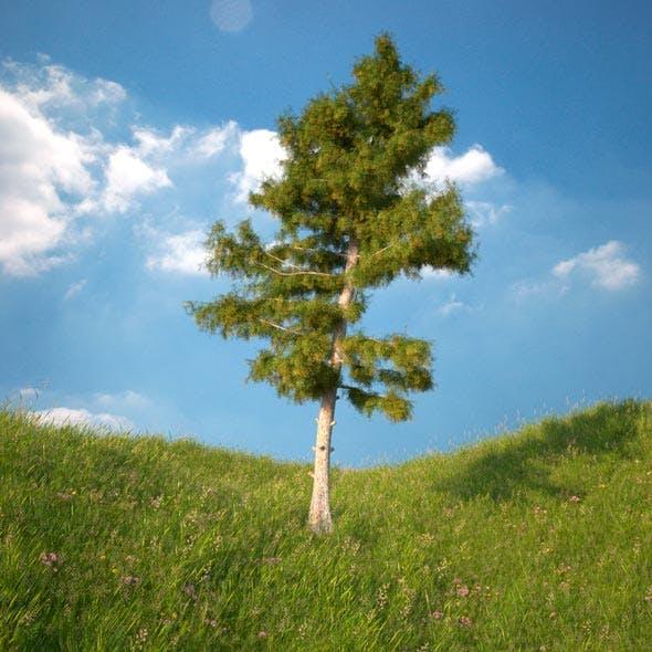 Cedar Tree No 3 - 3DOcean Item for Sale