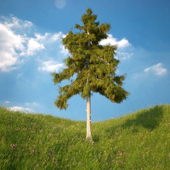 Cedar Tree No 5 - 3DOcean Item for Sale