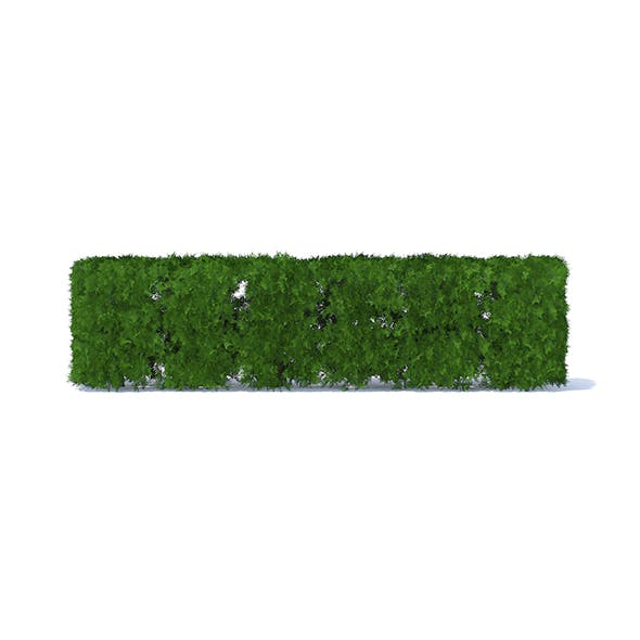 Straight Thuja Hedge