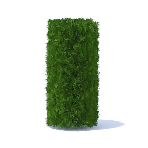 Cylindrical Thuja Hedge
