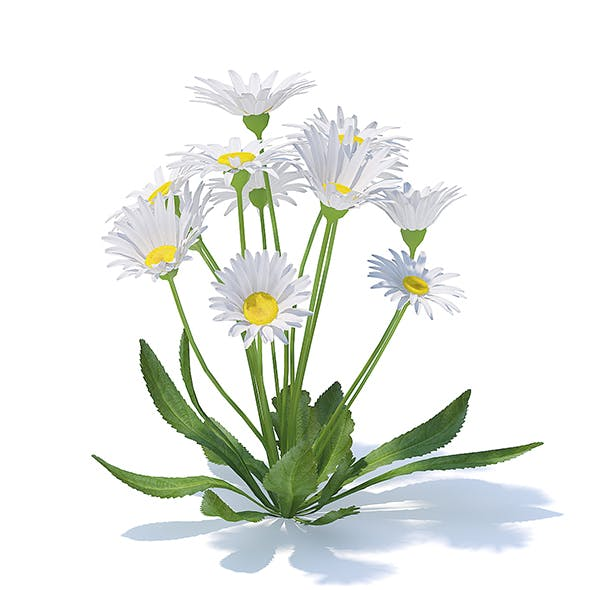 Daisies 3D Model - 3DOcean Item for Sale