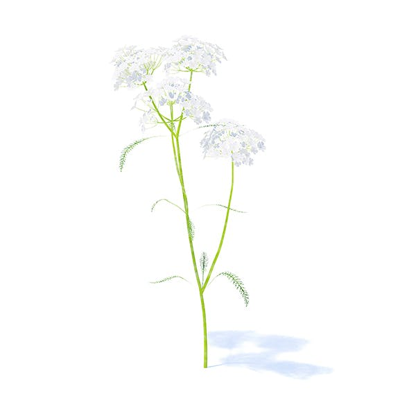 Yarrow plant (Achillea millefolium) 3d model. Height: 34cm. Compatible with 3ds max 2010 or higher,