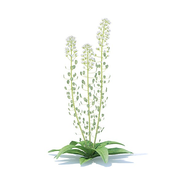 Field Pennycress 3D Model
