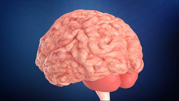 Humnan Brain - 3DOcean Item for Sale