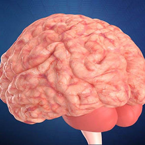 Humnan Brain