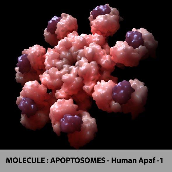 Molecule : Apopstomes - Human Apaf-1
