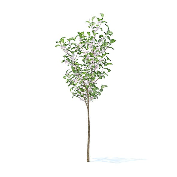 Apple Tree with Flowers 3D Model 2.7m