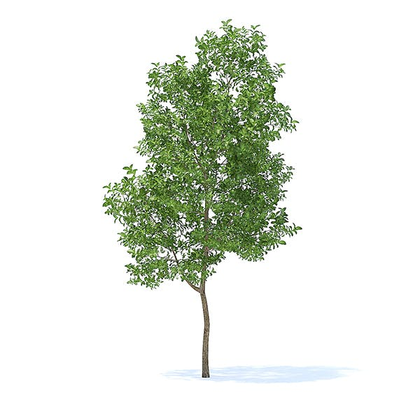 Apple Tree 3D Model 3.8m - 3DOcean Item for Sale