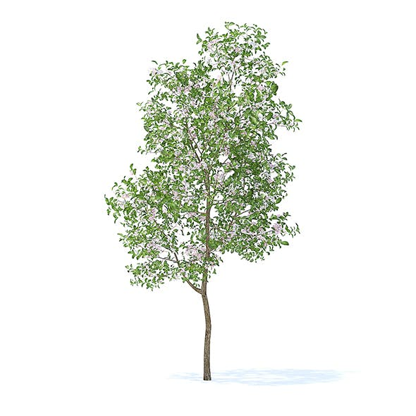 Apple Tree with Flowers 3D Model 3.8m - 3DOcean Item for Sale