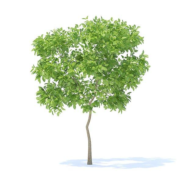 Pear Tree 3D Model 2.4m