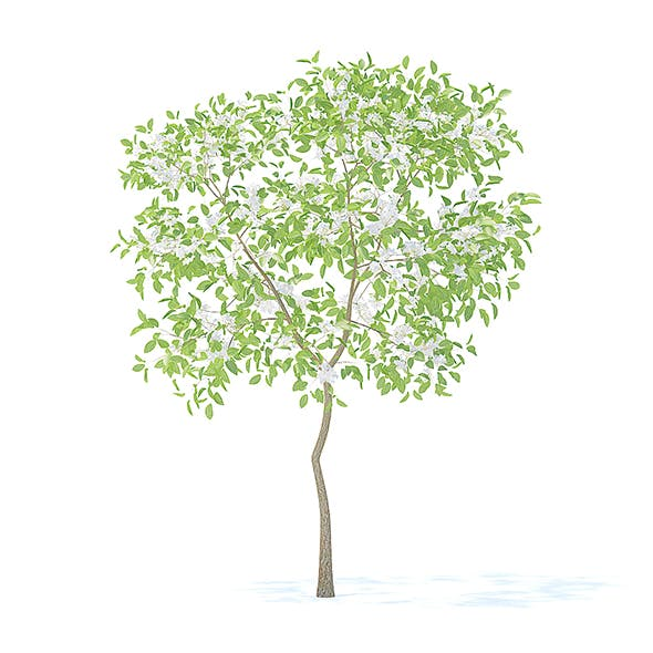 Pear Tree with Flowers 3D Model 2.4m - 3DOcean Item for Sale