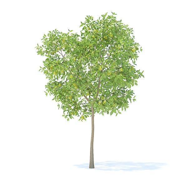 Pear Tree with Fruits 3D Model 3.7m - 3DOcean Item for Sale