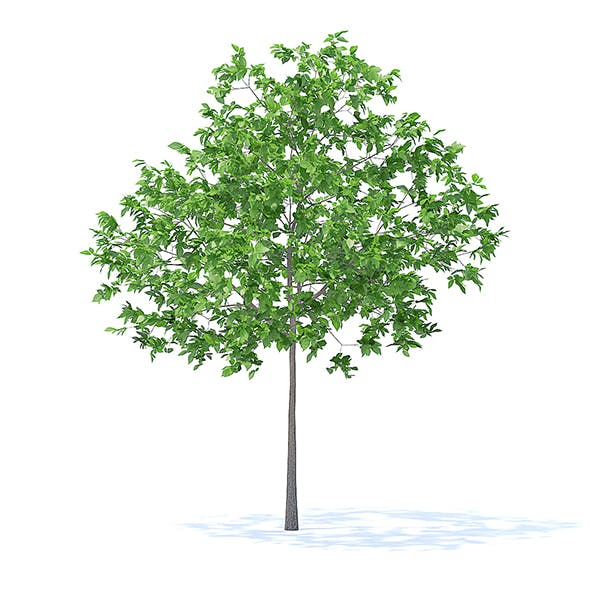 Plum Tree 3D Model 3.2m - 3DOcean Item for Sale