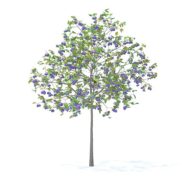 Plum Tree with Fruits 3D Model 3.2m - 3DOcean Item for Sale