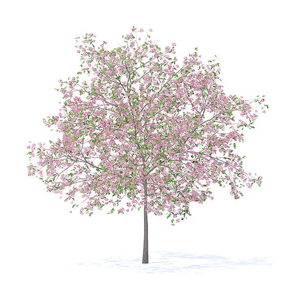 Plum Tree with Flowers 3D Model 5.2m - 3DOcean Item for Sale