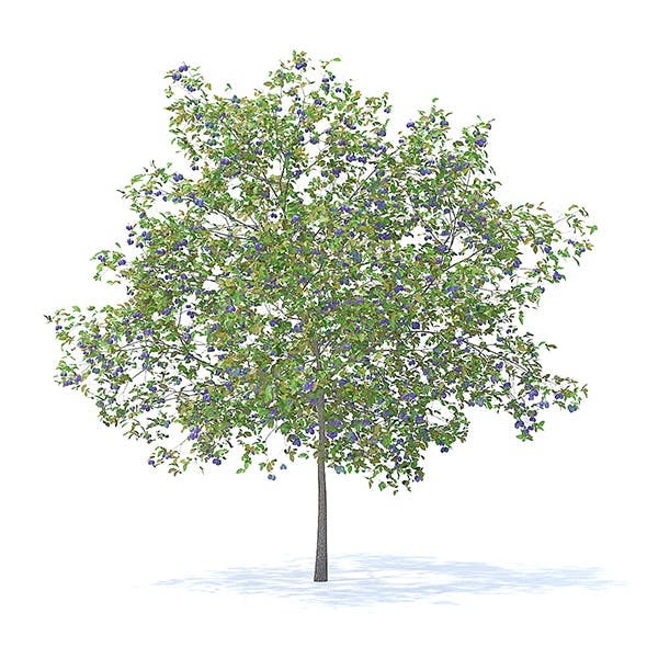 Plum Tree with Fruits 3D Model 5.2m - 3DOcean Item for Sale