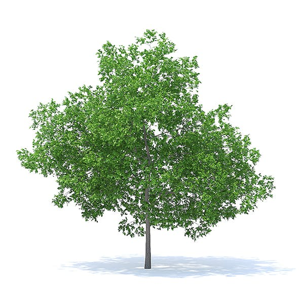 Plum Tree 3D Model 7.1m