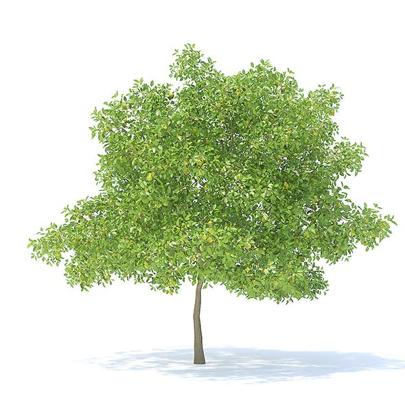 Pear Tree with Fruits 3D Model 6.3m - 3DOcean Item for Sale