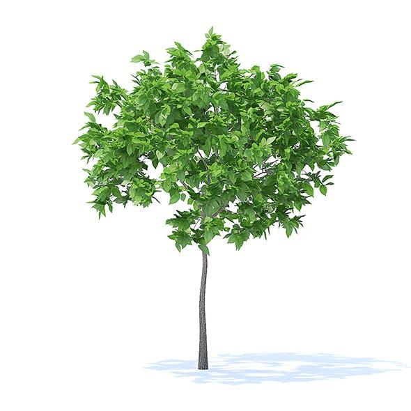 Plum Tree 3D Model 2m