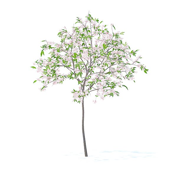 Cherry Tree with Flowers 3D Model 2.5m