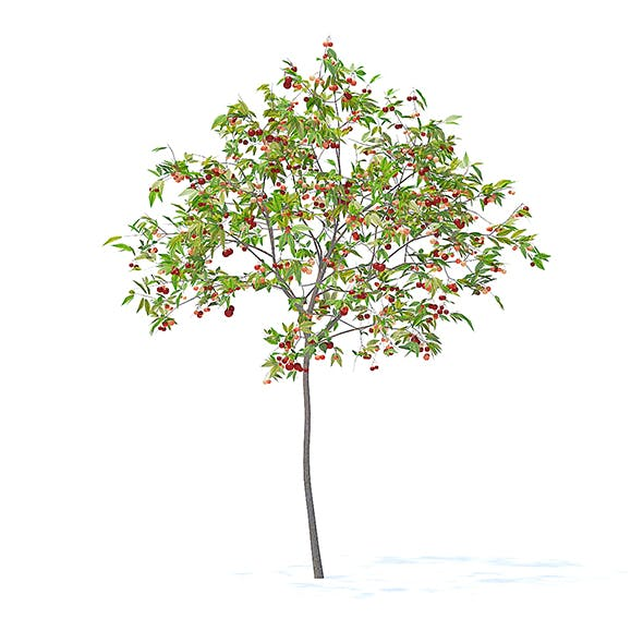 Cherry Tree with Fruits 3D Model 2.5m