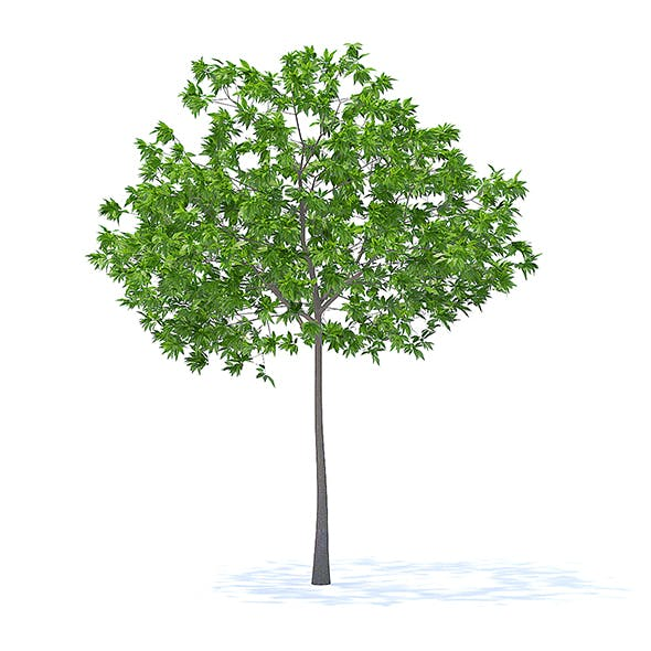 Cherry Tree 3D Model 3.3m - 3DOcean Item for Sale