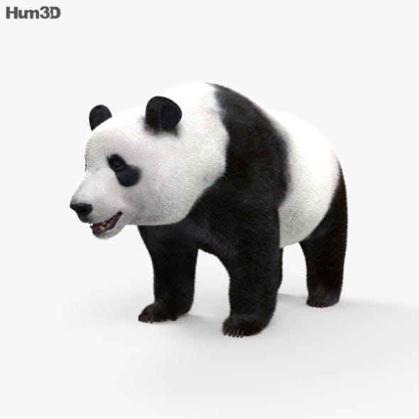 Giant Panda HD