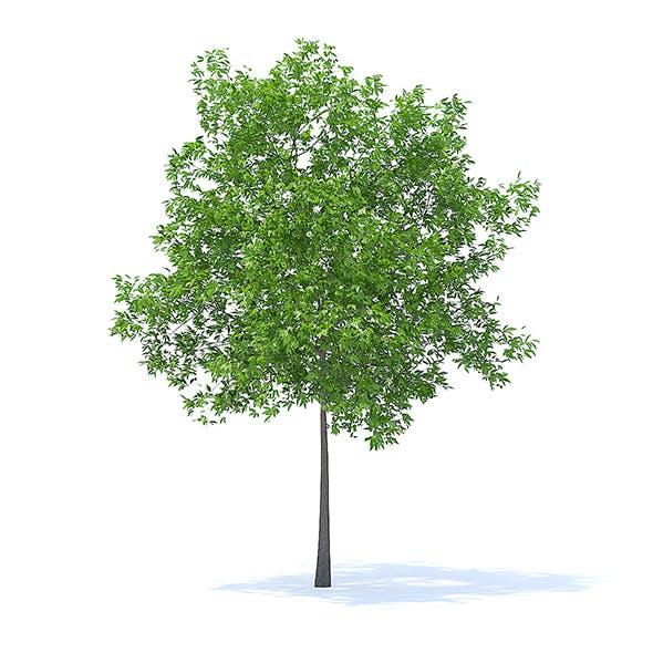 Cherry Tree 3D Model 5.7m