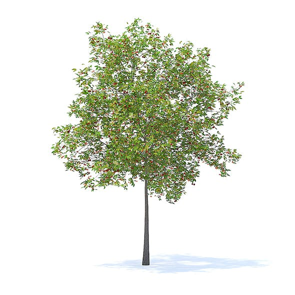 Cherry Tree with Fruits 3D Model 5.7m