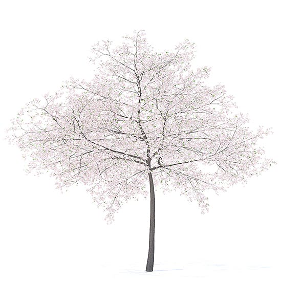Cherry Tree with Flowers 3D Model 6.5m - 3DOcean Item for Sale