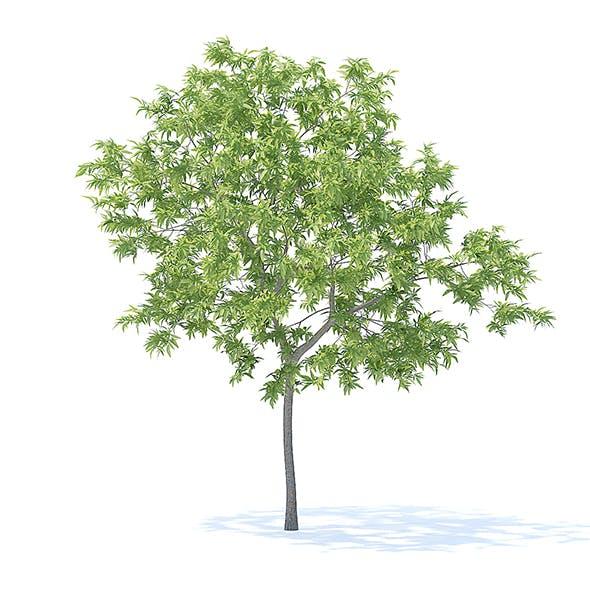 Peach Tree 3D Model 3m