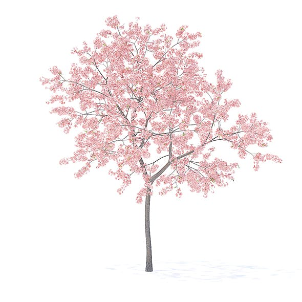 Peach Tree with Flowers 3D Model 3m