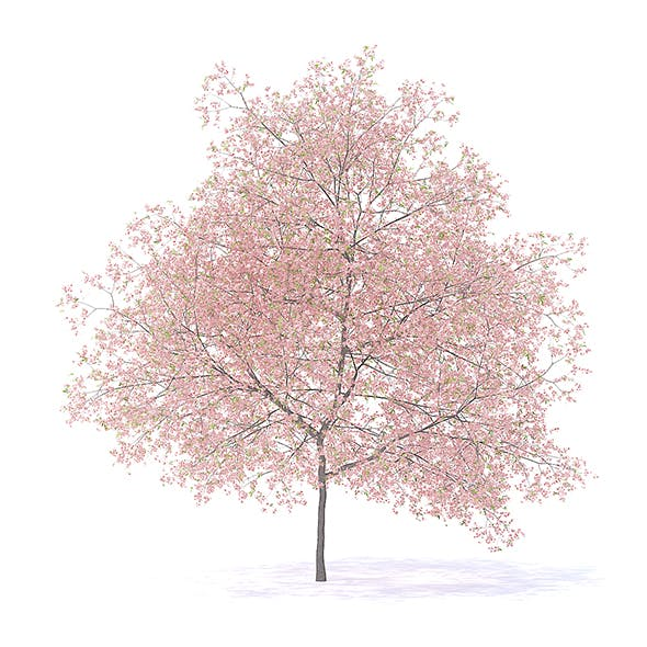 Peach Tree with Flowers 3D Model 7.5m