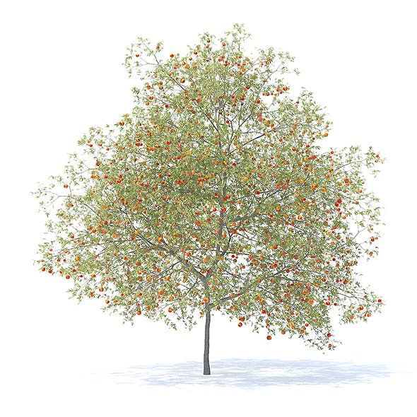 Peach Tree with Fruits 3D Model 7.5m