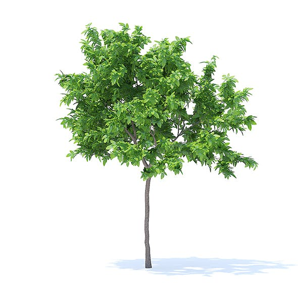 Lemon Tree 3D Model 2.4m - 3DOcean Item for Sale