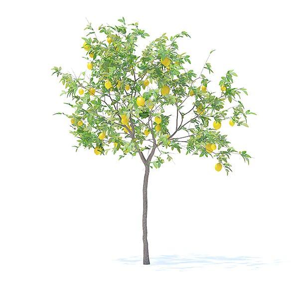 Lemon Tree with Fruits 3D Model 2.4m - 3DOcean Item for Sale