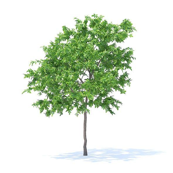 Lemon Tree 3D Model 3.1m