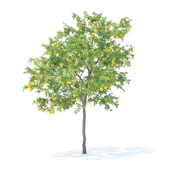 Lemon Tree with Fruits 3D Model 3.1m