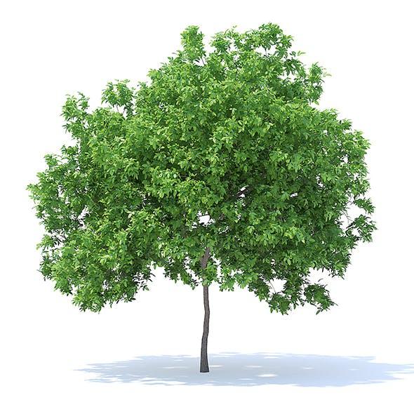 Lemon Tree 3D Model 4.4m