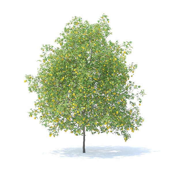 Lemon Tree with Fruits 3D Model 6m - 3DOcean Item for Sale