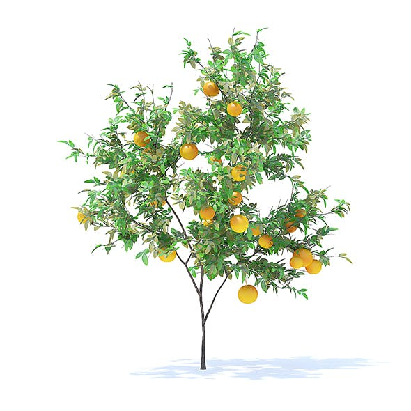 Orange Tree with Fruits 3D Model 2.1m - 3DOcean Item for Sale