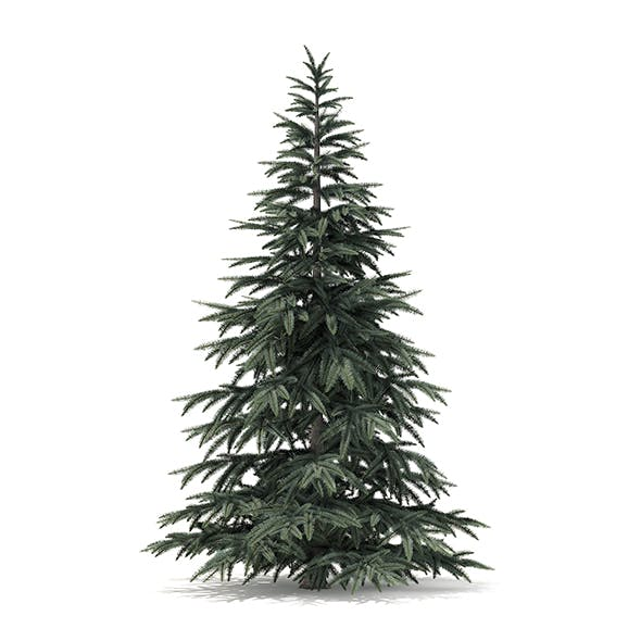 Spruce Tree 3D Model 2.8m