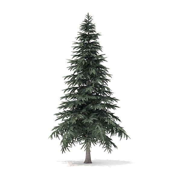 Spruce Tree 3D Model 4.4m
