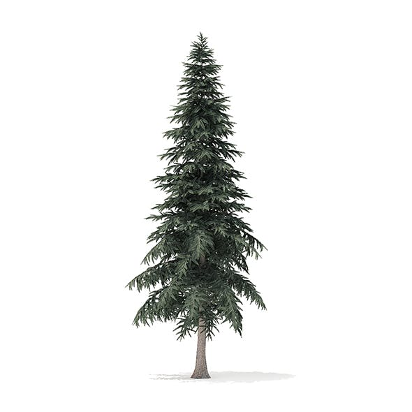 Spruce Tree 3D Model 6.4m