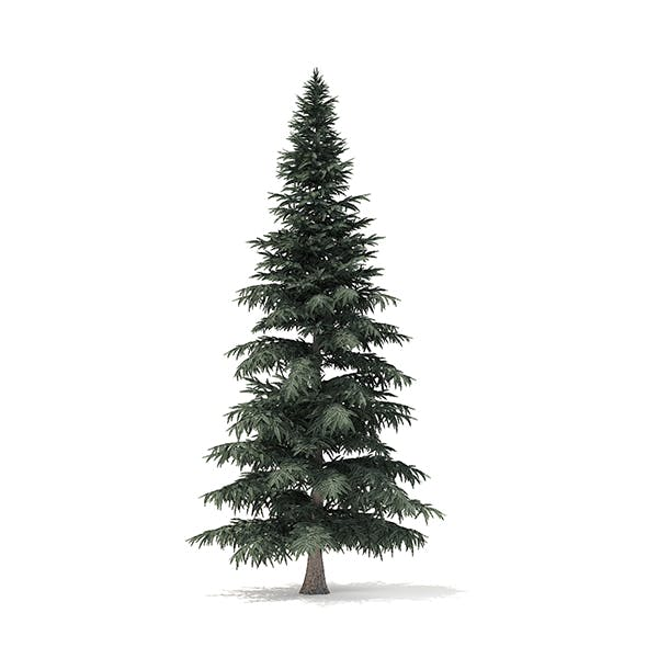 Spruce Tree 3D Model 8m