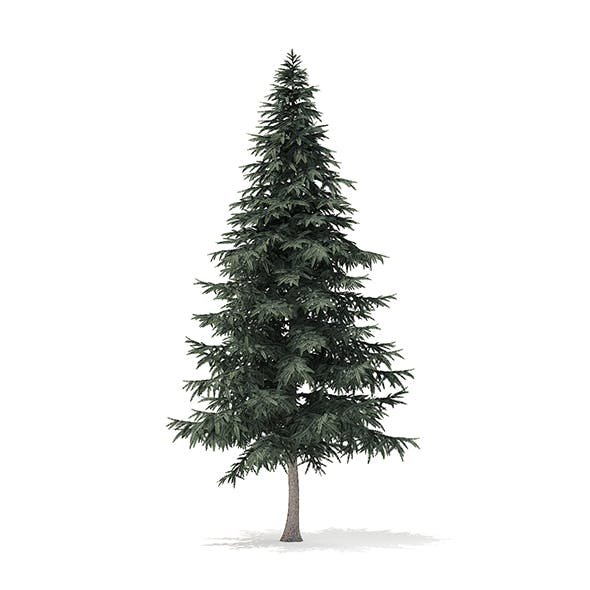 Spruce Tree 3D Model 7.8m
