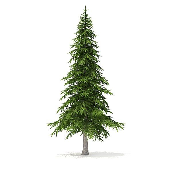 Fir Tree 3D Model 5.9m
