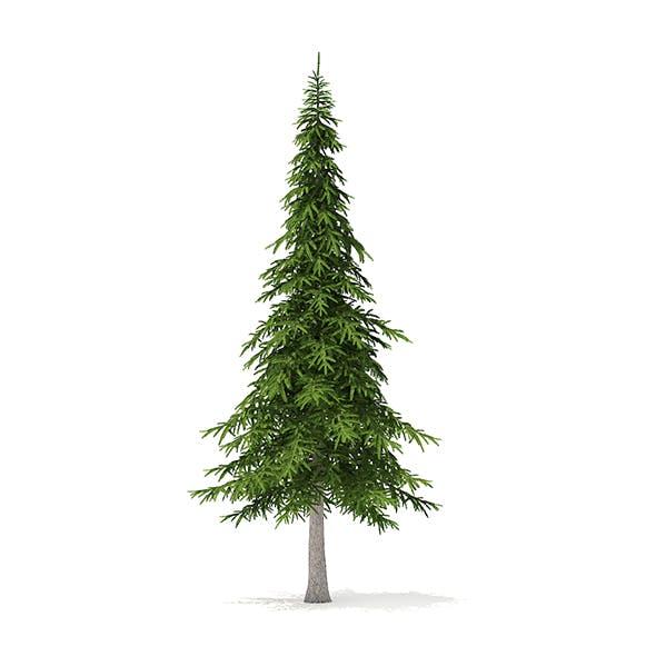 Fir Tree 3D Model 7m