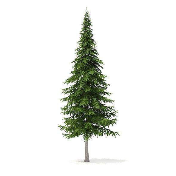 Fir Tree 3D Model 10m