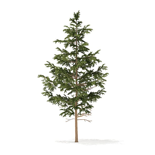 Pine Tree 3D Model 5.5m - 3DOcean Item for Sale